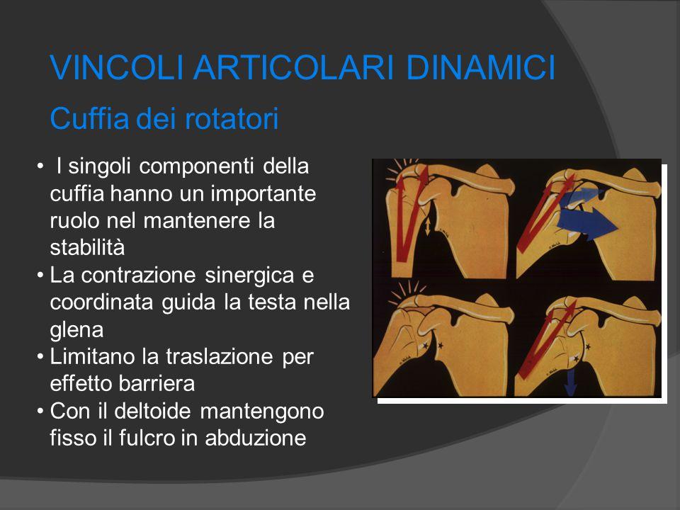 VINCOLI ARTICOLARI DINAMICI Cuffia dei rotatori I singoli componenti della cuffia hanno un importante ruolo nel mantenere la stabilità La contrazione