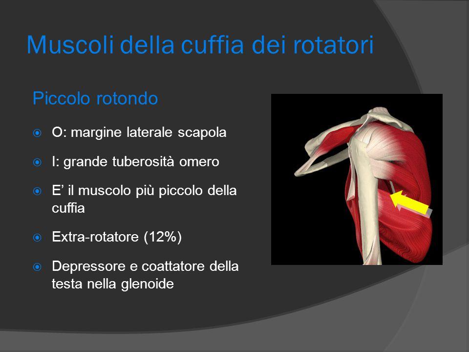 Muscoli della cuffia dei rotatori Piccolo rotondo  O: margine laterale scapola  I: grande tuberosità omero  E' il muscolo più piccolo della cuffia
