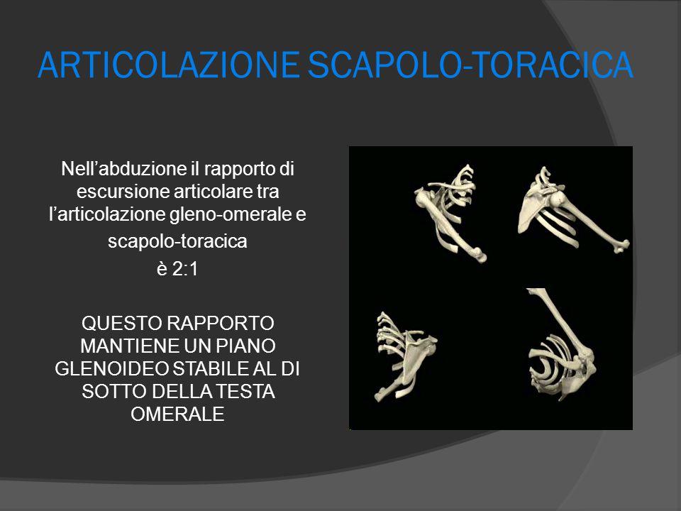 ARTICOLAZIONE SCAPOLO-TORACICA Nell'abduzione il rapporto di escursione articolare tra l'articolazione gleno-omerale e scapolo-toracica è 2:1 QUESTO R