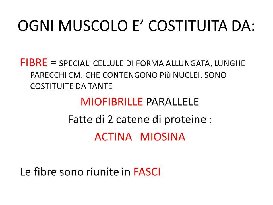 OGNI MUSCOLO E' COSTITUITA DA: FIBRE = SPECIALI CELLULE DI FORMA ALLUNGATA, LUNGHE PARECCHI CM.