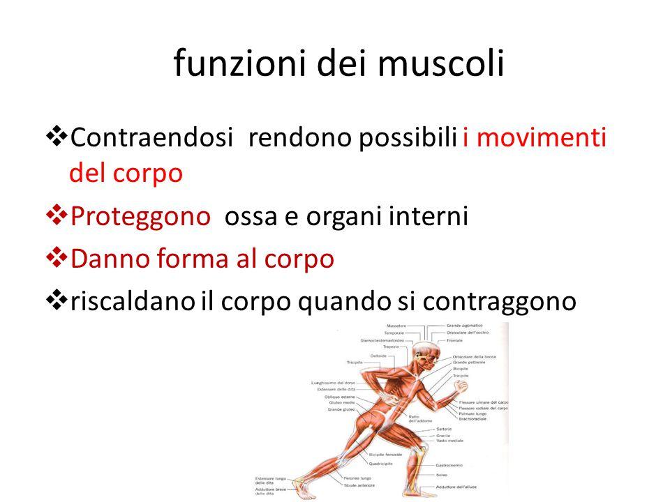 funzioni dei muscoli  Contraendosi rendono possibili i movimenti del corpo  Proteggono ossa e organi interni  Danno forma al corpo  riscaldano il corpo quando si contraggono