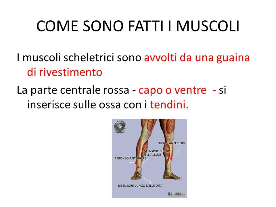 COME SONO FATTI I MUSCOLI I muscoli scheletrici sono avvolti da una guaina di rivestimento La parte centrale rossa - capo o ventre - si inserisce sulle ossa con i tendini.