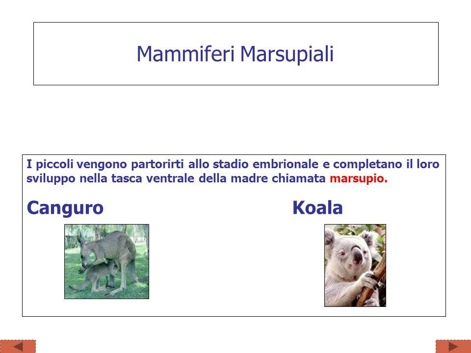 I piccoli vengono partorirti allo stadio embrionale e completano il loro sviluppo nella tasca ventrale della madre chiamata marsupio. Canguro Koala Ma