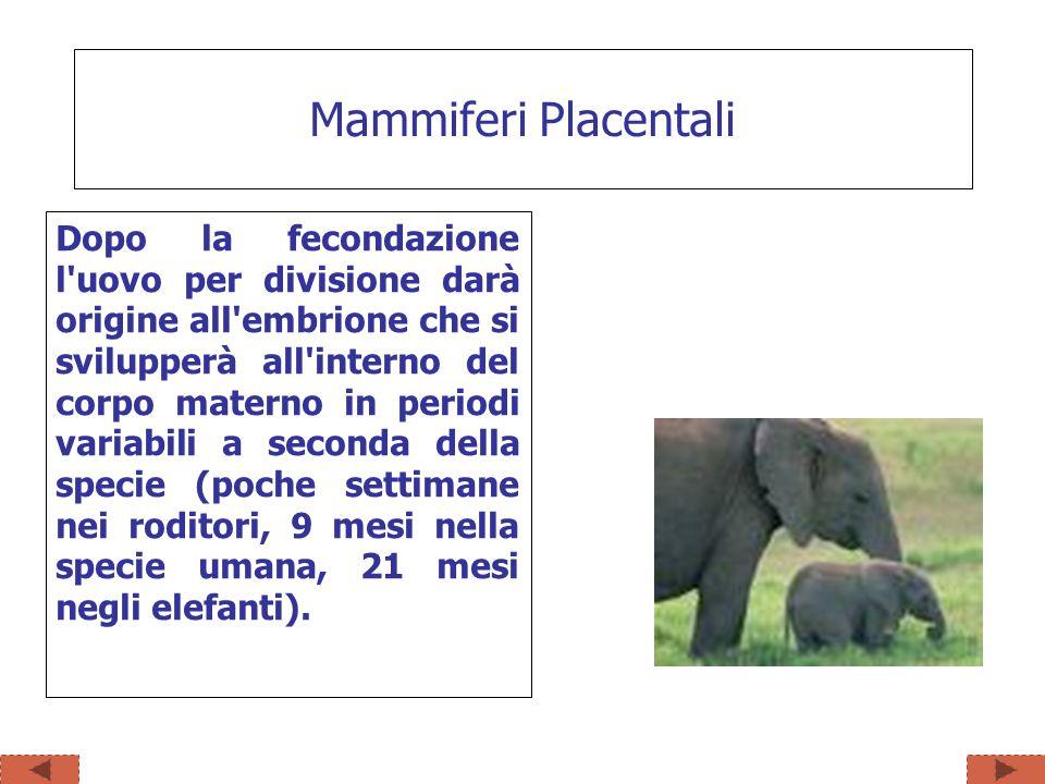 Mammiferi Placentali Dopo la fecondazione l'uovo per divisione darà origine all'embrione che si svilupperà all'interno del corpo materno in periodi va