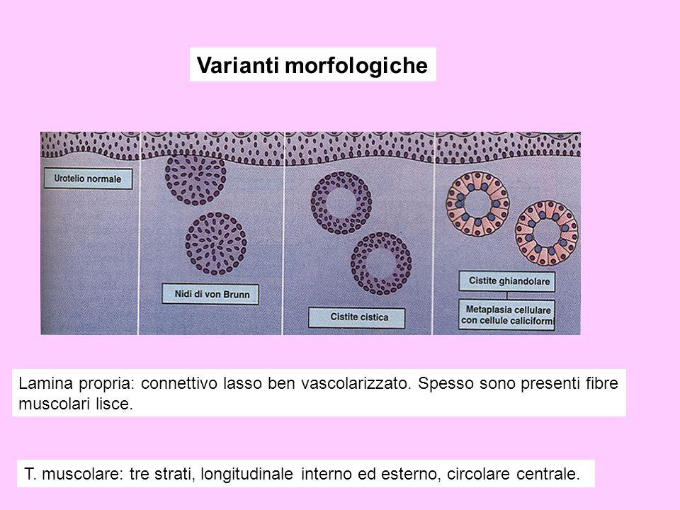 Varianti morfologiche Lamina propria: connettivo lasso ben vascolarizzato. Spesso sono presenti fibre muscolari lisce. T. muscolare: tre strati, longi