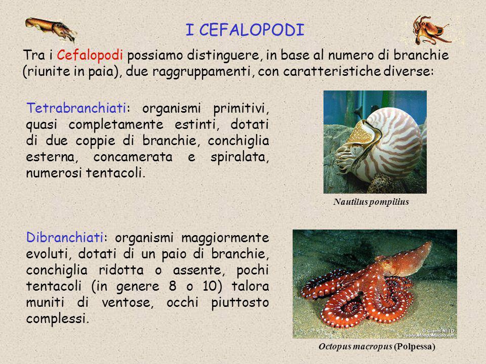 I CEFALOPODI Tra i Cefalopodi possiamo distinguere, in base al numero di branchie (riunite in paia), due raggruppamenti, con caratteristiche diverse: