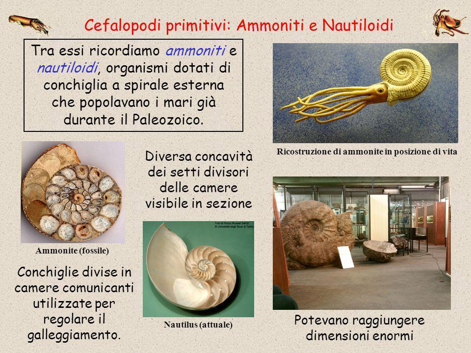 Cefalopodi primitivi: Ammoniti e Nautiloidi Tra essi ricordiamo ammoniti e nautiloidi, organismi dotati di conchiglia a spirale esterna che popolavano