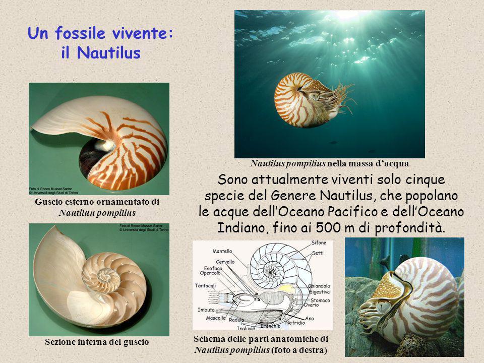 Sono attualmente viventi solo cinque specie del Genere Nautilus, che popolano le acque dell'Oceano Pacifico e dell'Oceano Indiano, fino ai 500 m di pr