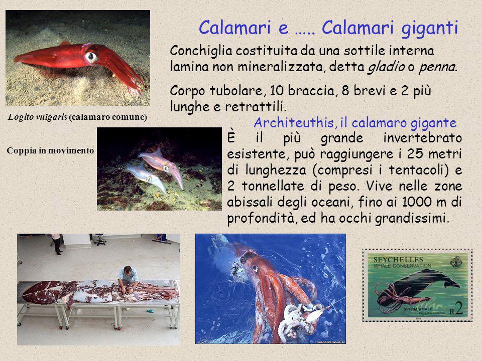 Calamari e ….. Calamari giganti Logito vulgaris (calamaro comune) Coppia in movimento Conchiglia costituita da una sottile interna lamina non minerali
