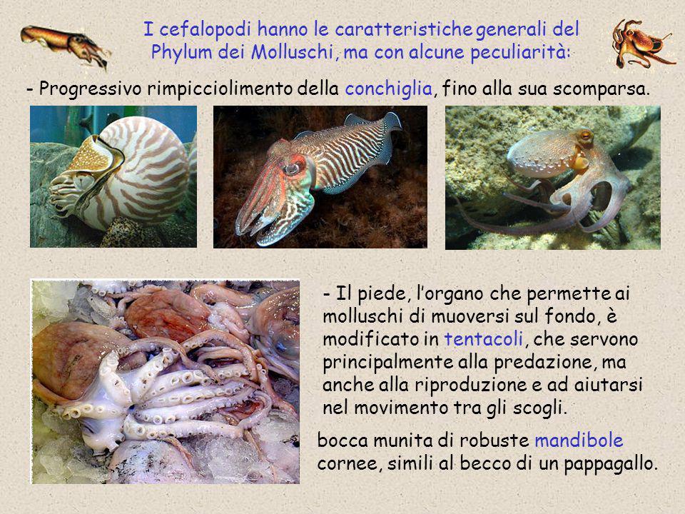 I cefalopodi hanno le caratteristiche generali del Phylum dei Molluschi, ma con alcune peculiarità: - Progressivo rimpicciolimento della conchiglia, f