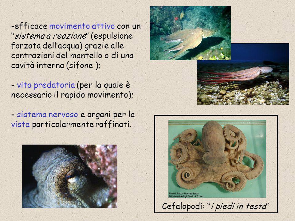I cefalopodi sono animali marini predatori, si nutrono di altri molluschi, crostacei, piccoli pesci, gasteropodi.