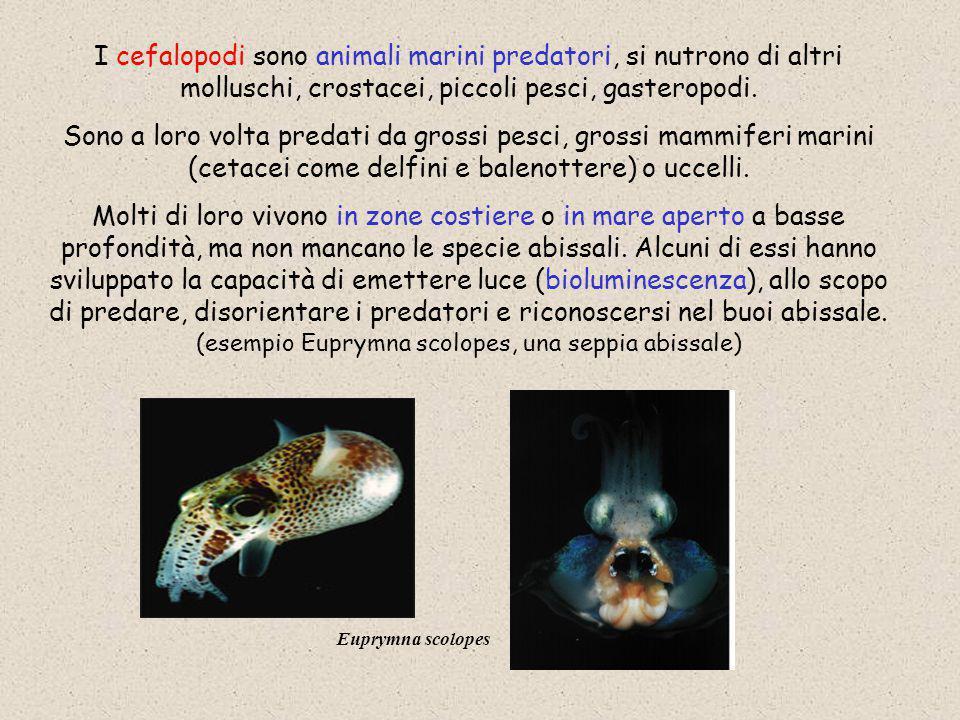 I cefalopodi sono animali marini predatori, si nutrono di altri molluschi, crostacei, piccoli pesci, gasteropodi. Sono a loro volta predati da grossi