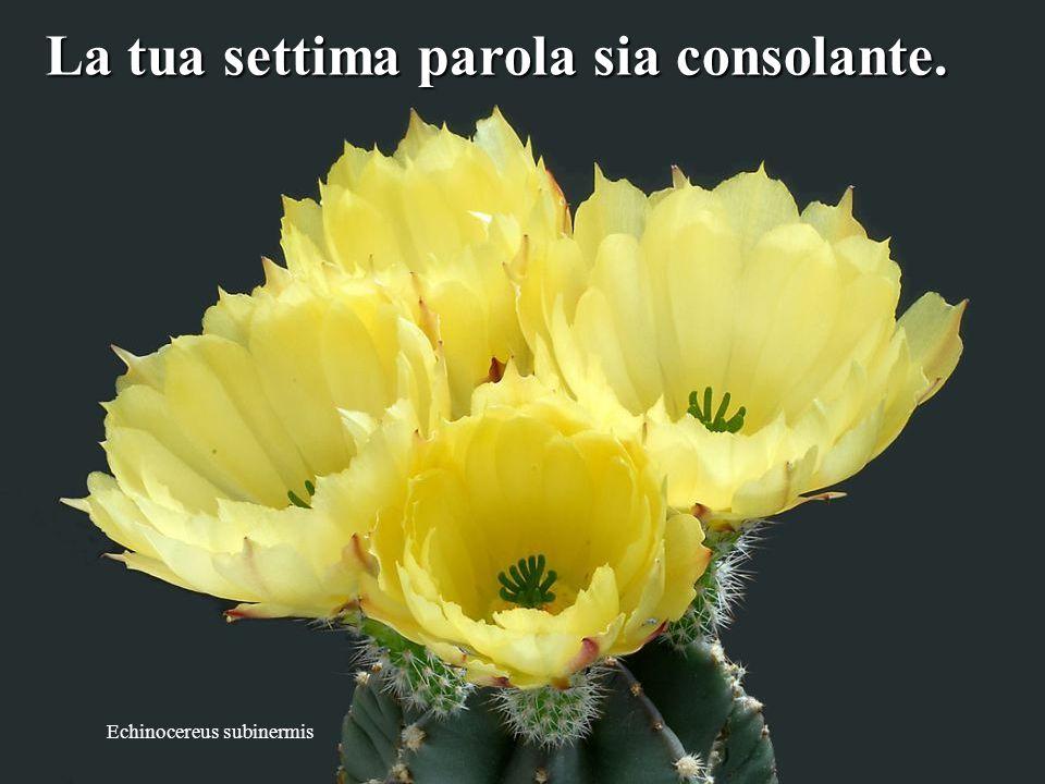 Astrophytum coahuilense La tua sesta parola sia tenera. tenera.