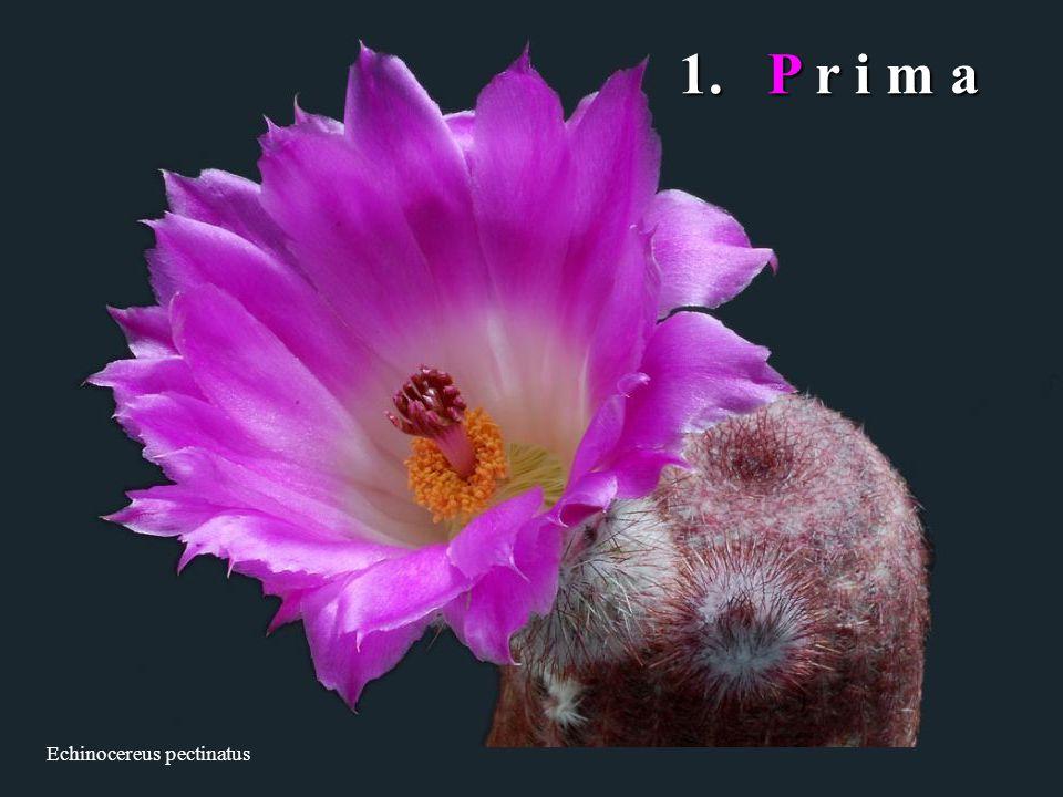 Echinocereus pectinatus 1. P r i m a