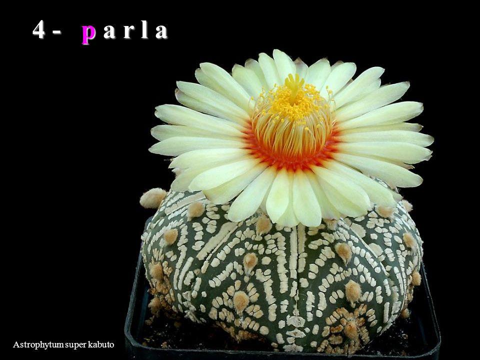 Astrophytum super kabuto 4 - p a r l a