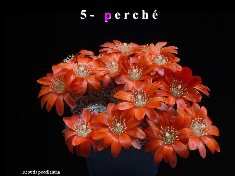 Echinocereus polyacanthus La tua seconda parola sia vera.