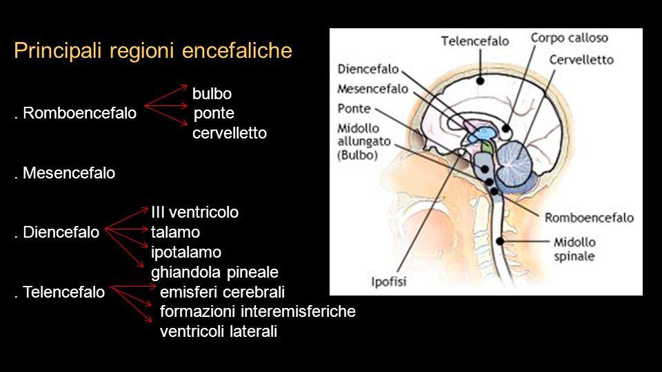 Principali regioni encefaliche bulbo. Romboencefalo ponte cervelletto. Mesencefalo III ventricolo. Diencefalo talamo ipotalamo ghiandola pineale. Tele