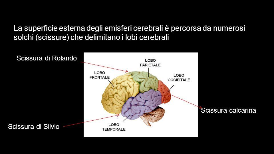 La superficie esterna degli emisferi cerebrali è percorsa da numerosi solchi (scissure) che delimitano i lobi cerebrali Scissura di Rolando Scissura d