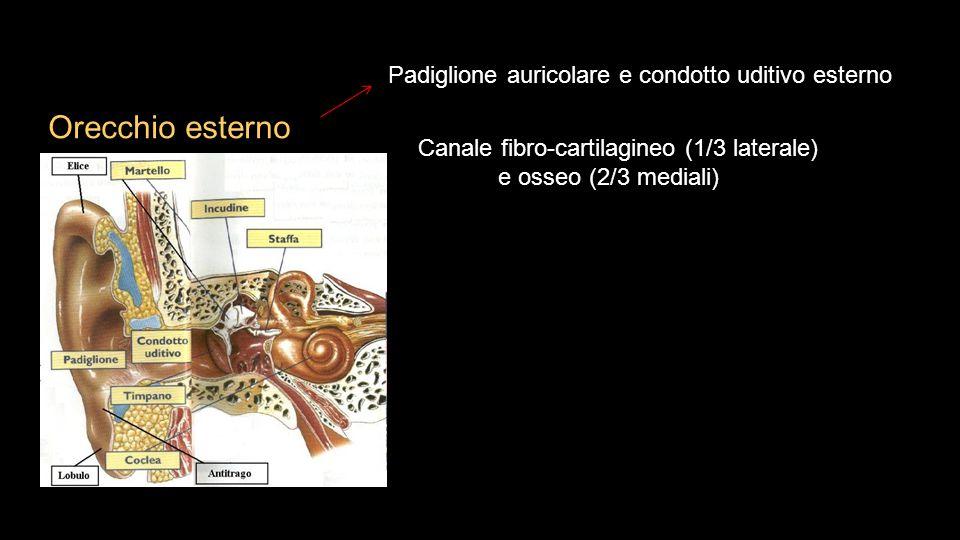 Orecchio esterno Canale fibro-cartilagineo (1/3 laterale) e osseo (2/3 mediali) Padiglione auricolare e condotto uditivo esterno