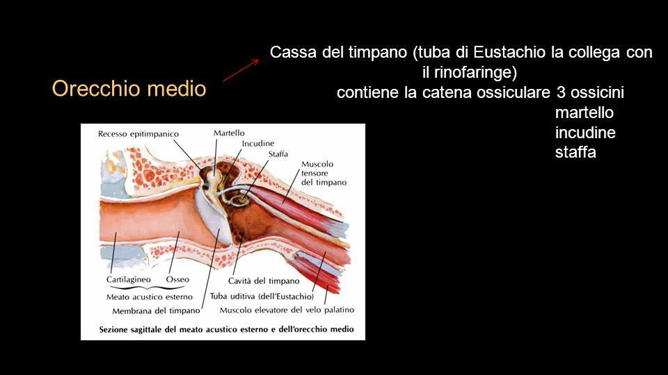Orecchio medio Cassa del timpano (tuba di Eustachio la collega con il rinofaringe) contiene la catena ossiculare 3 ossicini martello incudine staffa