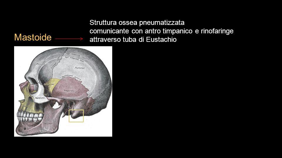 Mastoide Struttura ossea pneumatizzata comunicante con antro timpanico e rinofaringe attraverso tuba di Eustachio