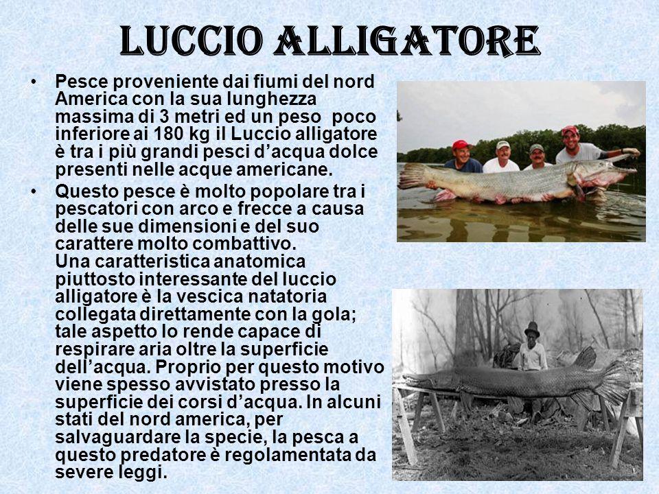 Luccio alligatore Pesce proveniente dai fiumi del nord America con la sua lunghezza massima di 3 metri ed un peso poco inferiore ai 180 kg il Luccio a