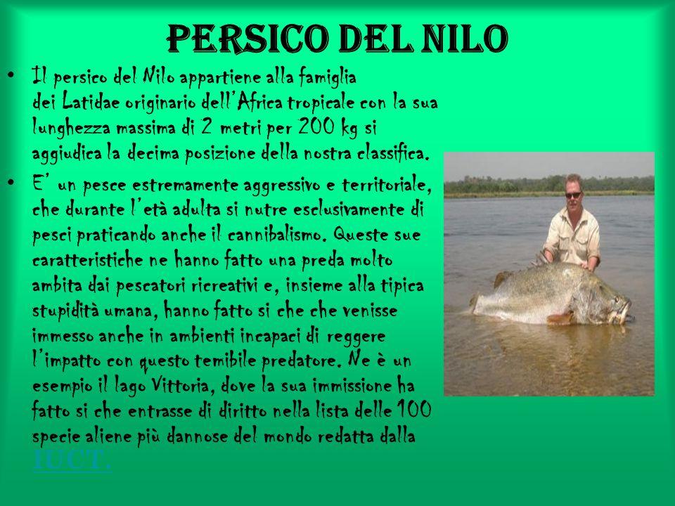 Persico del Nilo Il persico del Nilo appartiene alla famiglia dei Latidae originario dell'Africa tropicale con la sua lunghezza massima di 2 metri per