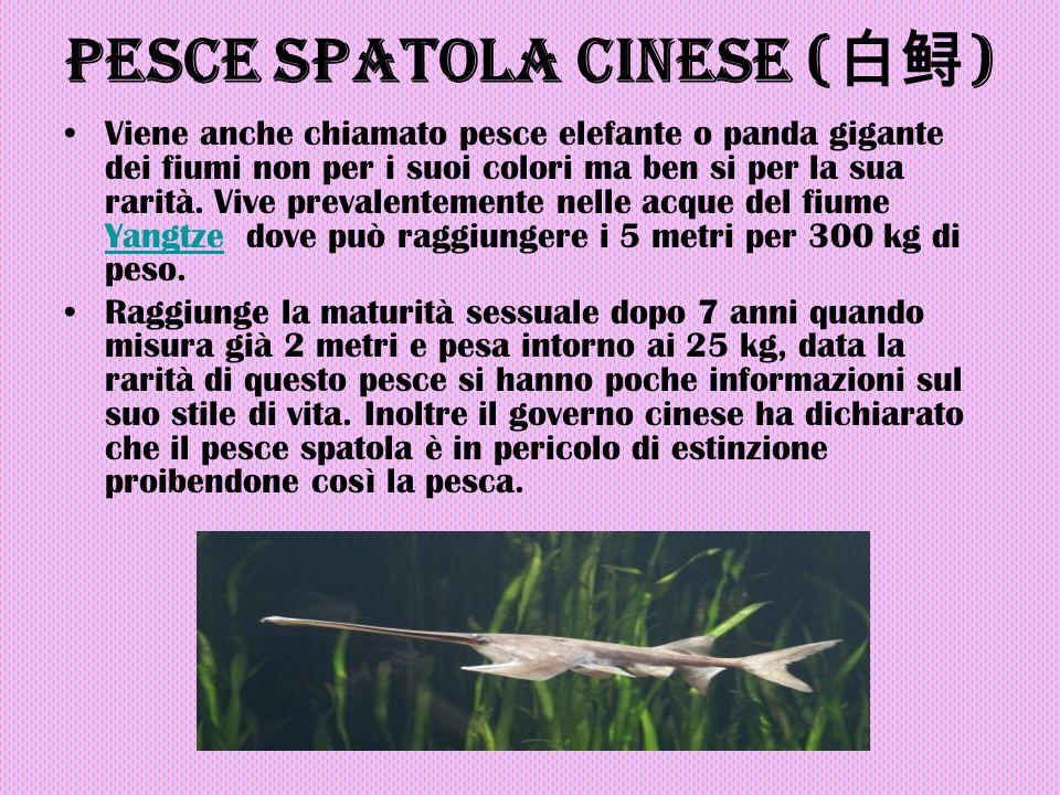 Pesce spatola cinese ( 白鲟 ) Viene anche chiamato pesce elefante o panda gigante dei fiumi non per i suoi colori ma ben si per la sua rarità. Vive prev