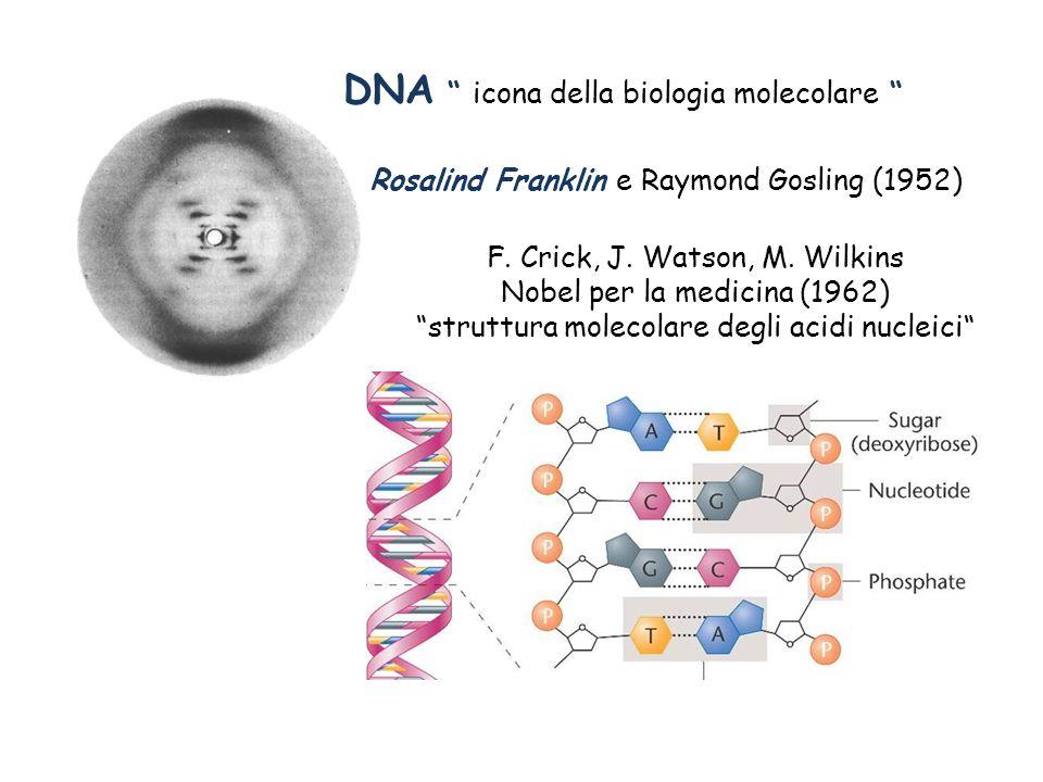 """DNA """" icona della biologia molecolare """" Rosalind Franklin e Raymond Gosling (1952) F. Crick, J. Watson, M. Wilkins Nobel per la medicina (1962) """"strut"""