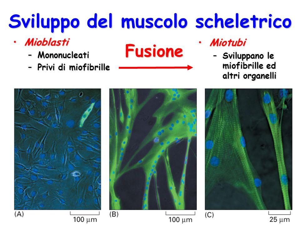 Sviluppo del muscolo scheletrico MioblastiMioblasti –Mononucleati –Privi di miofibrille MiotubiMiotubi –Sviluppano le miofibrille ed altri organelli F