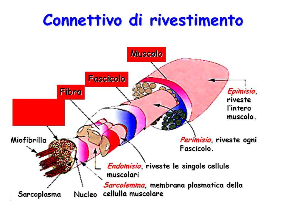 Connettivo di rivestimento Muscolo Fascicolo Fibra Miofibrilla Sarcoplasma Nucleo Sarcolemma, membrana plasmatica della cellulla muscolare Endomisio,