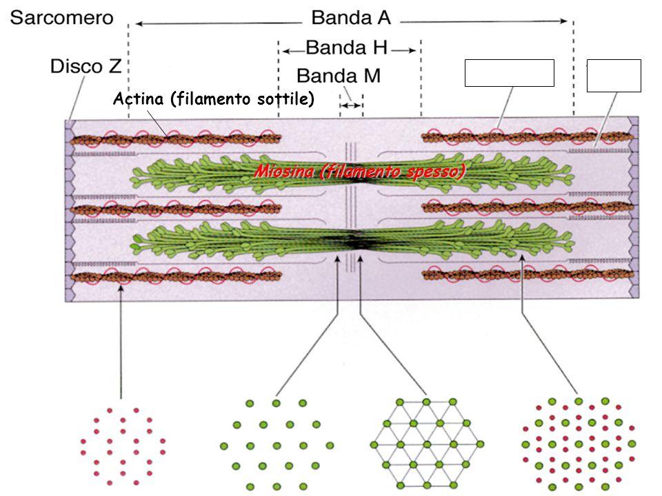 Miosina (filamento spesso) Actina (filamento sottile)