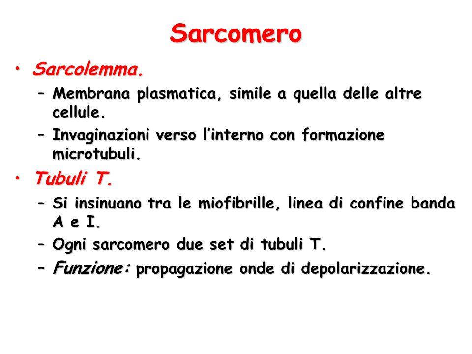 Sarcomero Sarcolemma.Sarcolemma. –Membrana plasmatica, simile a quella delle altre cellule. –Invaginazioni verso l'interno con formazione microtubuli.