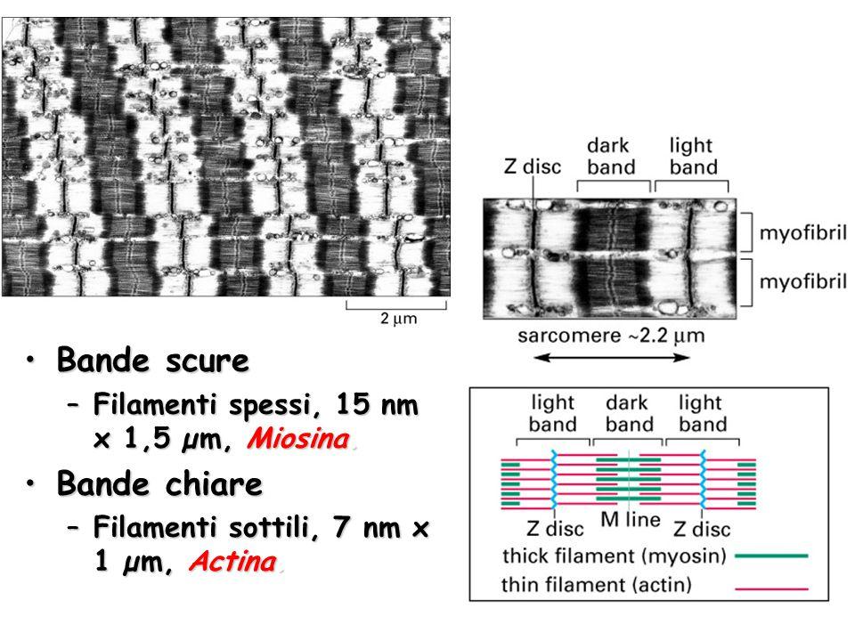 Bande scureBande scure –Filamenti spessi, 15 nm x 1,5 µm, Miosina. Bande chiareBande chiare –Filamenti sottili, 7 nm x 1 µm, Actina.