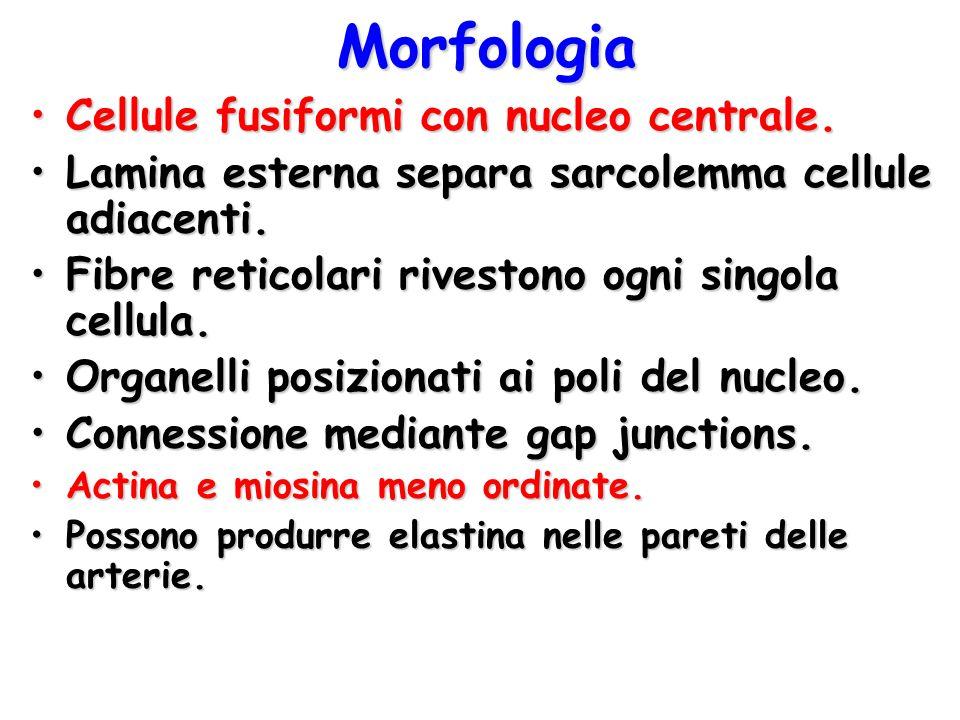 Morfologia Cellule fusiformi con nucleo centrale.Cellule fusiformi con nucleo centrale. Lamina esterna separa sarcolemma cellule adiacenti.Lamina este
