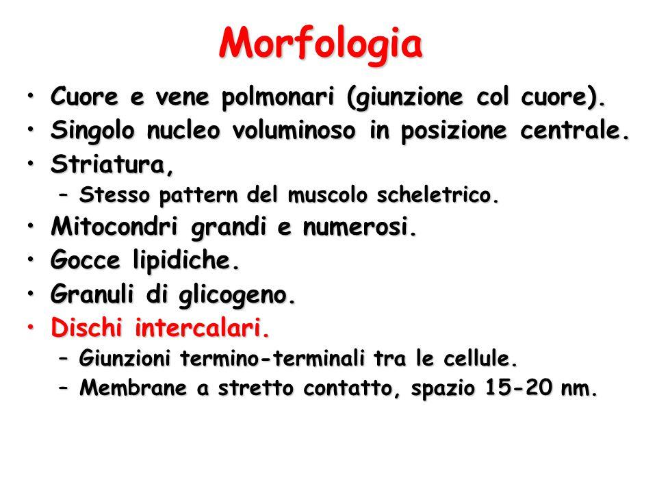 Morfologia Cuore e vene polmonari (giunzione col cuore).Cuore e vene polmonari (giunzione col cuore). Singolo nucleo voluminoso in posizione centrale.