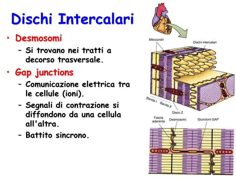 Dischi Intercalari DesmosomiDesmosomi –Si trovano nei tratti a decorso trasversale. Gap junctionsGap junctions –Comunicazione elettrica tra le cellule