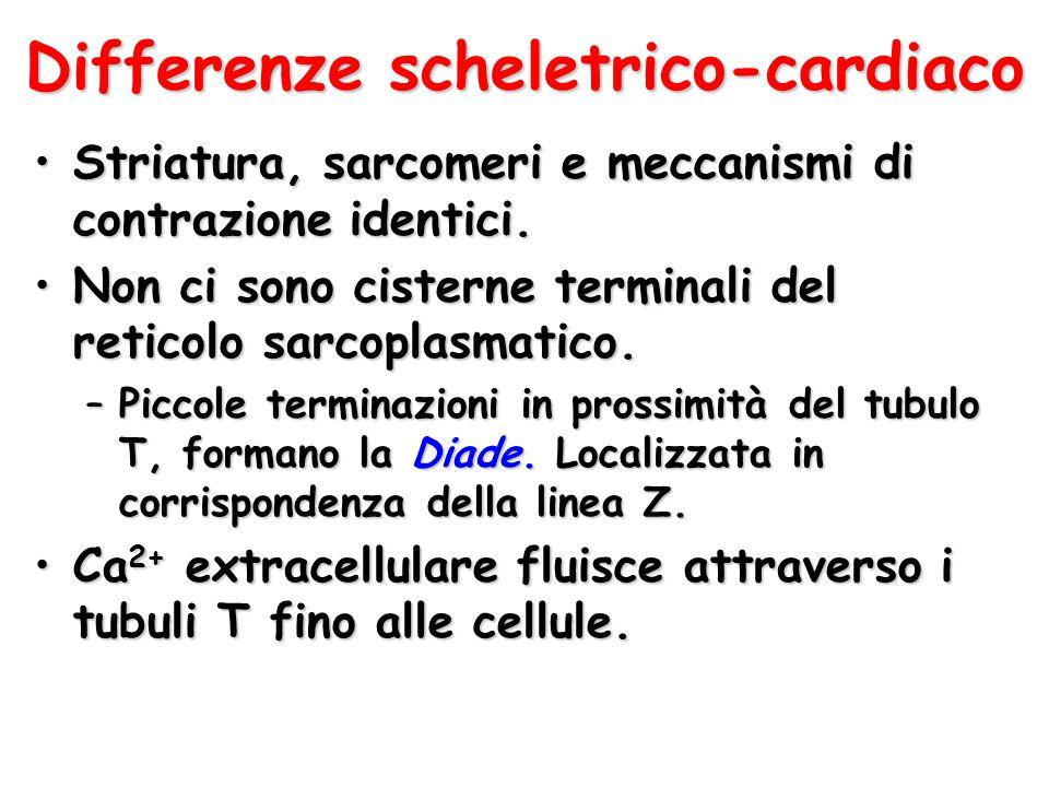 Differenze scheletrico-cardiaco Striatura, sarcomeri e meccanismi di contrazione identici.Striatura, sarcomeri e meccanismi di contrazione identici. N