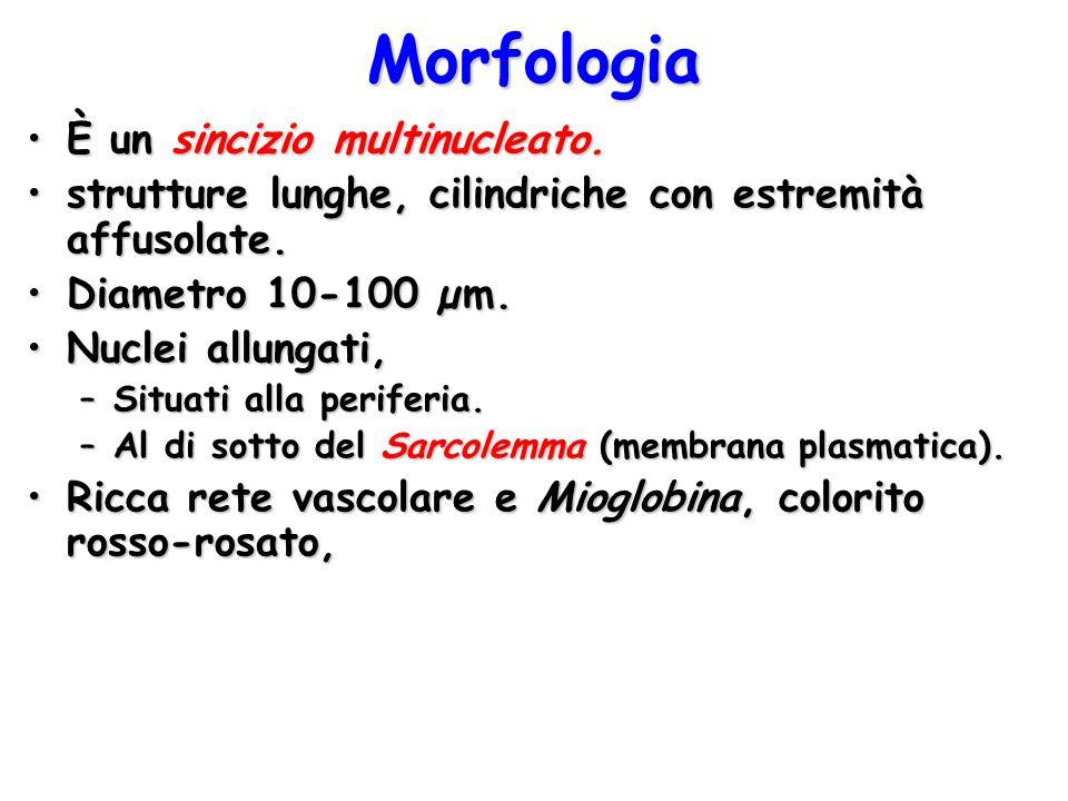 Morfologia È un sincizio multinucleato.È un sincizio multinucleato. strutture lunghe, cilindriche con estremità affusolate.strutture lunghe, cilindric
