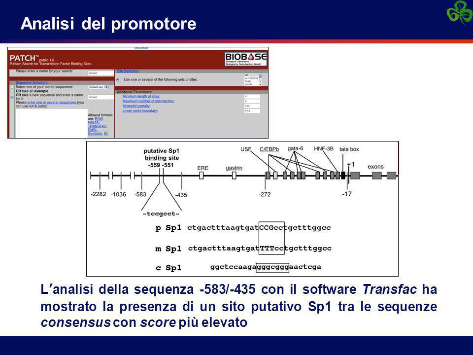 Analisi del promotore L'analisi della sequenza -583/-435 con il software Transfac ha mostrato la presenza di un sito putativo Sp1 tra le sequenze consensus con score più elevato