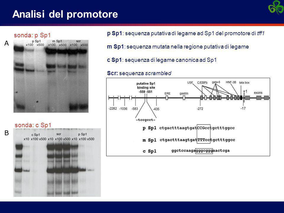 sonda: p Sp1 sonda: c Sp1 Analisi del promotore p Sp1: sequenza putativa di legame ad Sp1 del promotore di tff1 m Sp1: sequenza mutata nella regione p