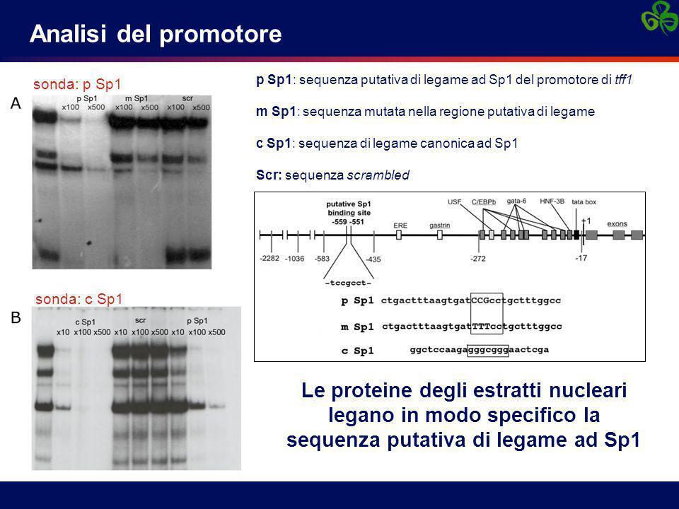 Le proteine degli estratti nucleari legano in modo specifico la sequenza putativa di legame ad Sp1 sonda: p Sp1 sonda: c Sp1 Analisi del promotore p Sp1: sequenza putativa di legame ad Sp1 del promotore di tff1 m Sp1: sequenza mutata nella regione putativa di legame c Sp1: sequenza di legame canonica ad Sp1 Scr: sequenza scrambled