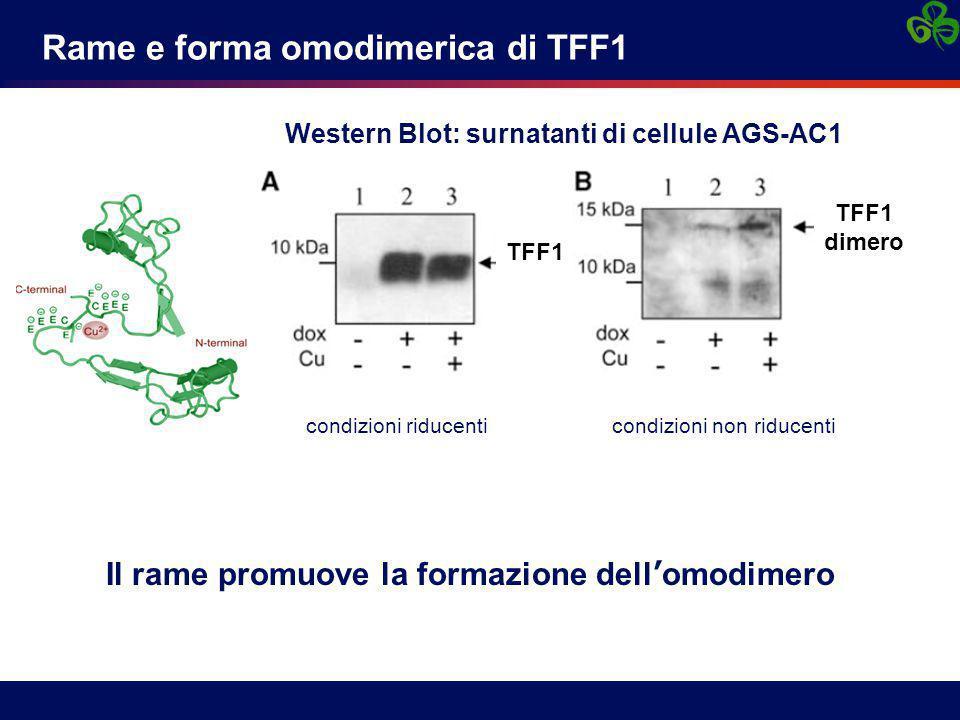 Rame e forma omodimerica di TFF1 Il rame promuove la formazione dell'omodimero condizioni riducenti condizioni non riducenti Western Blot: surnatanti di cellule AGS-AC1 TFF1 dimero TFF1