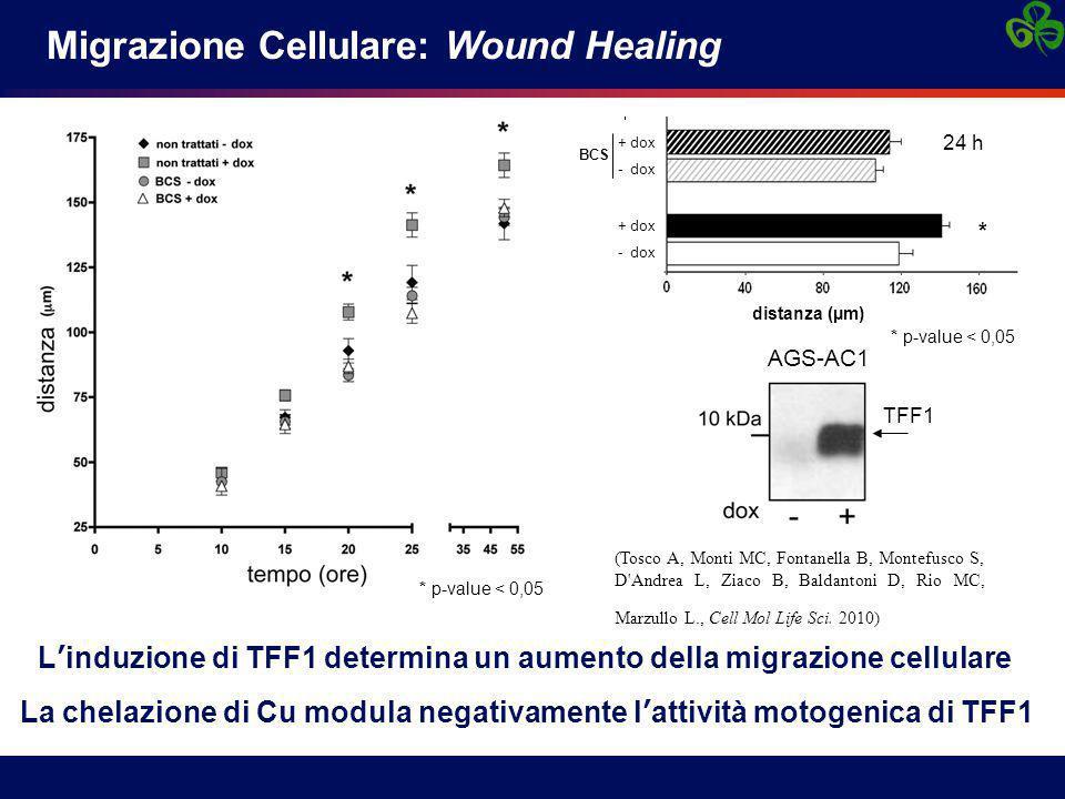 BCS + dox - dox * p-value < 0,05 + dox - dox distance (  m) * Migrazione Cellulare: Wound Healing * p-value < 0,05 (Tosco A, Monti MC, Fontanella B, Montefusco S, D Andrea L, Ziaco B, Baldantoni D, Rio MC, Marzullo L., Cell Mol Life Sci.