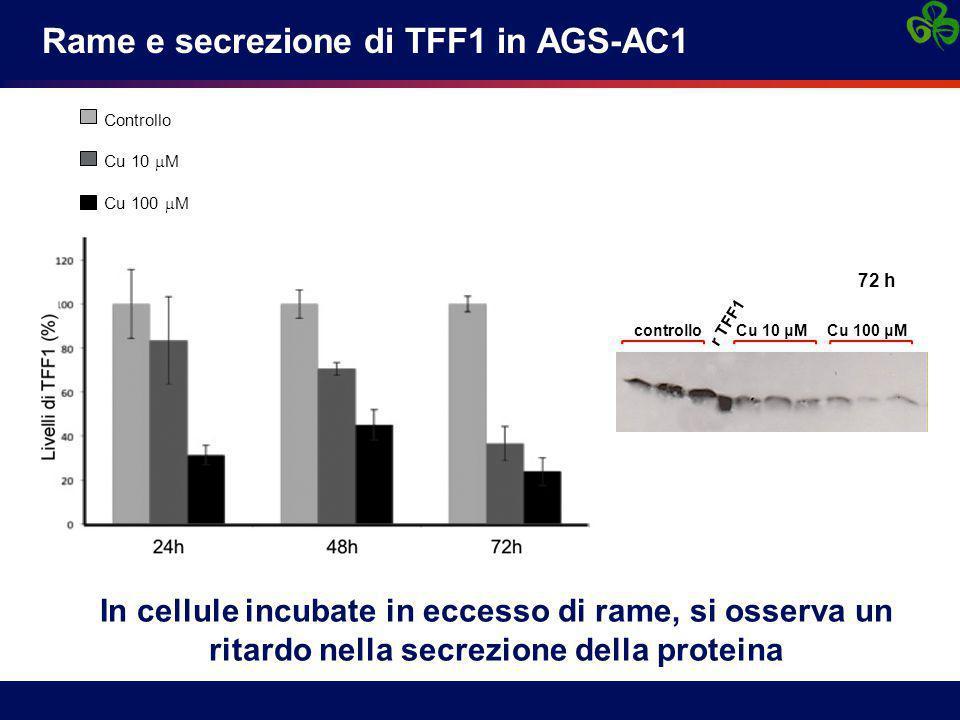 Rame e secrezione di TFF1 in AGS-AC1 In cellule incubate in eccesso di rame, si osserva un ritardo nella secrezione della proteina Controllo Cu 10  M Cu 100  M controlloCu 10 μMCu 100 μM r TFF1 72 h