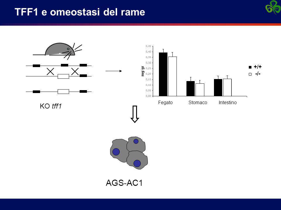 KO tff1 Fegato Stomaco Intestino +/+ -/- AGS-AC1 TFF1 e omeostasi del rame