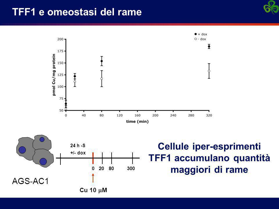AGS-AC1 24 h -S +/- dox 0 20 80 300 Cu 10  M Cellule iper-esprimenti TFF1 accumulano quantità maggiori di rame
