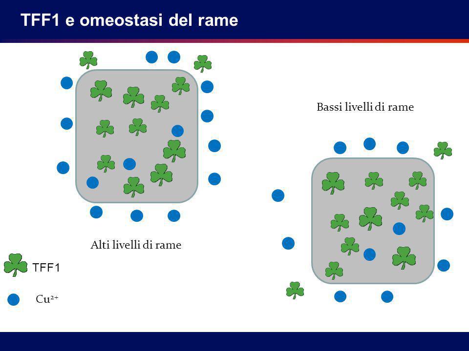 Alti livelli di rame Bassi livelli di rame TFF1 Cu 2+ TFF1 e omeostasi del rame