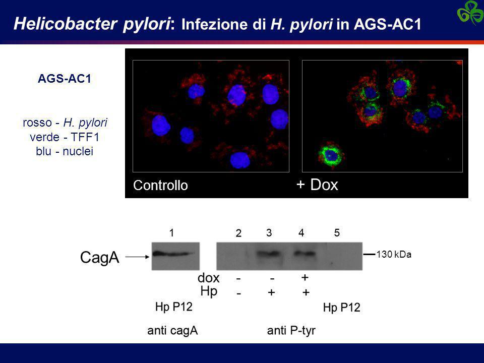 Helicobacter pylori: Infezione di H. pylori in AGS-AC1 Controllo + Dox AGS-AC1 rosso - H. pylori verde - TFF1 blu - nuclei 130 kDa CagA