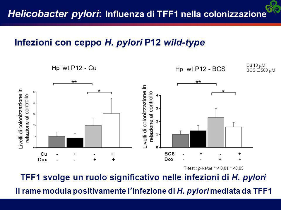 Infezioni con ceppo H. pylori P12 wild-type Helicobacter pylori: Influenza di TFF1 nella colonizzazione T-test : p-value **< 0,01 * <0,05 TFF1 svolge